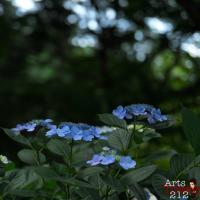 紫陽花@昭和記念公園
