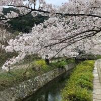 京都の桜(2021年3月)(哲学の道-2)(3)