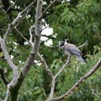 尾羽がだいぶ伸びていた、オナガの幼鳥。