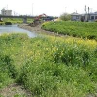 菜の花とヨナクサフジと桜少々/川底の土砂撤去され水流る(不老川)
