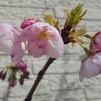 盆栽の桜が「開花」!・・・昨年より一週間遅いです。