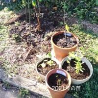 晩白柚の苗を頂きました♬