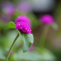 ●我が家の9月の花(6) ヤブランの花 千日紅 秋明菊 黄色い彼岸花