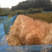 大麦の収穫2019