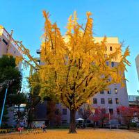 薩摩堀公園 イチョウの樹