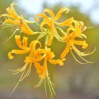 「幸せの黄色い花!」 いわき 高野花見山にて撮影! 黄色い彼岸花