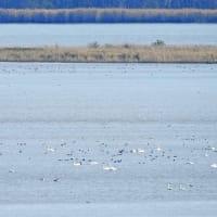 冬の使者 Part 2!  Waterfowls