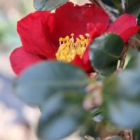 サザンカの中では 真っ赤な色は 珍しいです ユーレタイドです