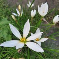 近所の花(ハギ、ラカンマキ、タマスダレ)とおまけ
