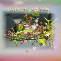 『 蘂桜魂交わりの志士の群 』平和の砦575交心zqw2106