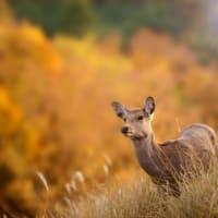 たのしい万葉集 秋萩の散りの乱ひに呼びたてて・・・