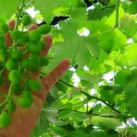 ブドウの2回目ジベ処理