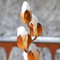 ウバユリの空室に雪積り、ウバユリアイスクリームになる。