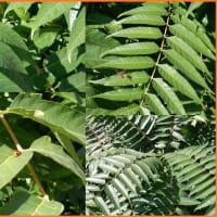 ニワウルシの葉