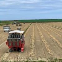 山元町の大規模露地野菜法人でタマネギの収穫が始まりました。