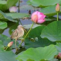 ハスの花絡みで、ヨシゴイが撮りたくて。