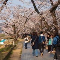 2019年春の京都・背割堤の壁紙(計19枚)