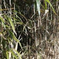 竹は冬の休眠期に伐採