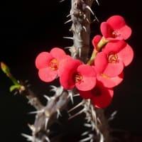 風雨の翌朝の花々⑦花麒麟にピンスポ