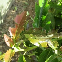 アボカドの葉をかじる珍虫。