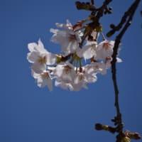 2020年3月25日の桜