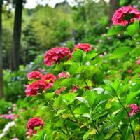 紫陽花屋敷