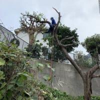 栗の木をロープワークの特殊伐採作業