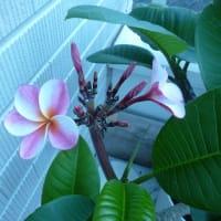 毎日のように咲くハイビスカス