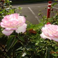 薔薇 の香り