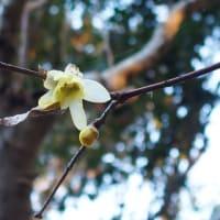 お寺の裏山で見た花(二ホンズイセン、アセビ、他)
