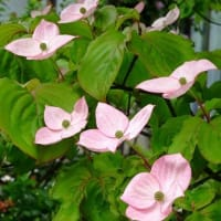 庭の「ヤマボウシ」(1)「サトミ」