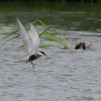 小さな魚を捕まえて、水から飛び出して来たクロハラアジサシ。