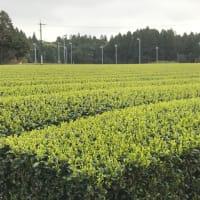 ベスと散歩の今朝の一枚・・・一番茶の一番最初はこの畑?
