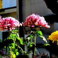 秋を彩る菊の花色々、菊(キク)、キク科キク属、