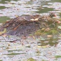 カイツブリ 3羽孵化