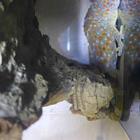 トッケイヤモリ頭胴長約13cm
