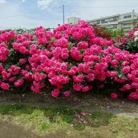 「春バラ①」/大船フラワーセンター(2019春)
