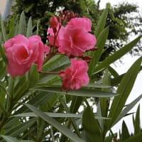 まだ咲いているのは夾竹桃のバカ