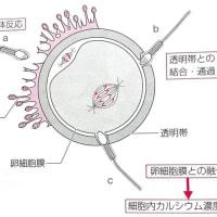 受精(fertilization)