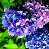 紫陽花 ライトアップ in 世界の梅公園 (御津)