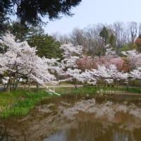 今日も満開の桜。 (4/8*水)