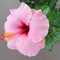 10月のハイビスカスと寄せ植え鉢-N:10/2,10/14,10/20,