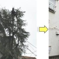 電線に絡み危険な状態のヒムロ杉の枝おろし作業