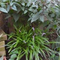 斑入りヤブランの花穂 と サルビア類の花など
