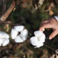 〔300〕ブログ300号記念は矢部顕さんの「綿の木に綿が実りました」です。
