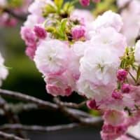 五ケ所の素晴らしい牡丹桜 (南伊勢町)