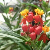 アスクレピアスの花は