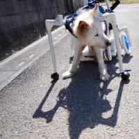 ダン吉の車椅子調整中です