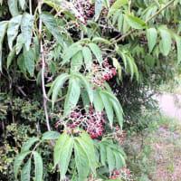 ニワトコ 庭常 接骨木