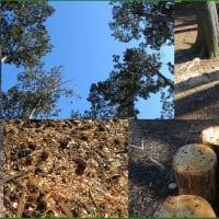 境内樹木伐採